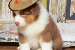 flash-tk-rocks-australian-shepherds-1