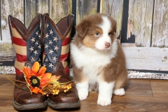 flash-tk-rocks-australian-shepherds-3