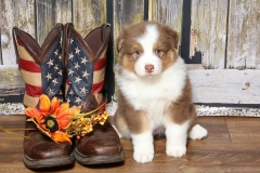 flash-tk-rocks-australian-shepherds-4