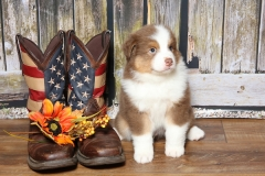 flash-tk-rocks-australian-shepherds-5