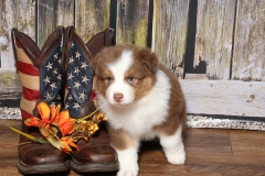 flash-tk-rocks-australian-shepherds-6