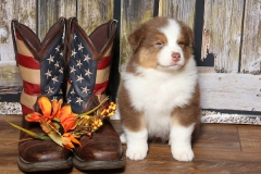 flash-tk-rocks-australian-shepherds-7