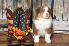 flash-tk-rocks-australian-shepherds-8