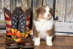 flash-tk-rocks-australian-shepherds-9