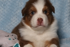 flash-tk-rocks-australian-shepherds-2