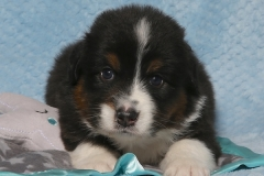 snuggles-tk-rocks-australian-shepherds-1