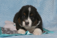 snuggles-tk-rocks-australian-shepherds-2