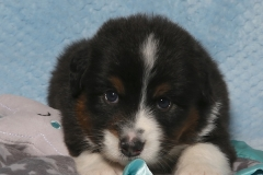 snuggles-tk-rocks-australian-shepherds-3