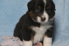 snuggles-tk-rocks-australian-shepherds-4